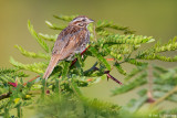 Resting Song Sparrow