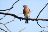 Bluebird on limb
