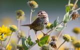 Sparrow calling