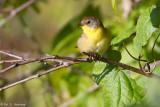 Yellowthroat in sun