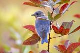 Bluebird, fall leaves