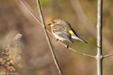 Warbler at rest