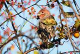 House Finch in tree