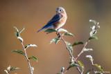 Fall Bluebird