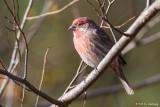 House Finch in sun