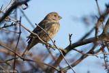 Finch on blue