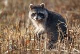 Raccoon in field