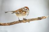 Tree Sparrow on white