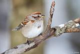Tree Sparrow on limb