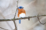 Cold Bluebird