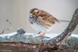 Sparrow and snow