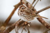 Song Sparrow and snow
