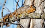 Squirrel resting