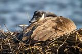 Hiding on nest
