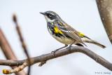 Female Warbler