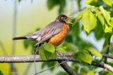 Robin calling