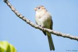 Field Sparrow and sky