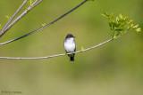 Isolated Kingbird