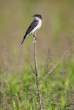 Perched Kingbird