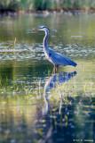 Heron in wetlands