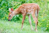 Young deer in field