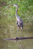 Tall Heron