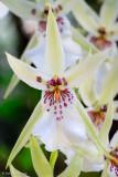 Aztec orchid
