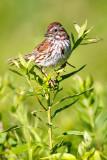 Sparrow on green
