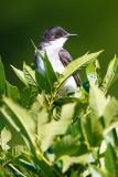 Kingbird in leaves