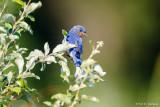 Bluebird, green field