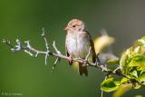 Immature Field Sparrow