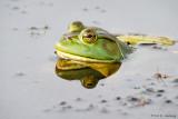 Frog profile