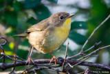 Yellowthroat on branch