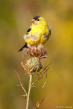 Perched on thistle