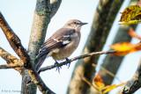 Fall Mockingbird