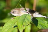 Warbler in leaves