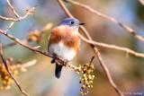 Bluebird, fall background