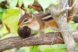 Carrying a walnut