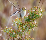 Goldfinch and green