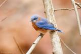 Bluebird on brown