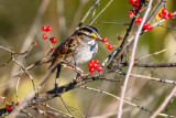 Sparrow and berries