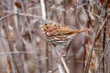 Fox Sparrow in field