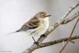 Warbler in winter