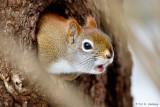 Calling squirrel