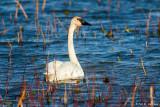 Swan on blue
