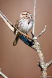Quiet Sparrow