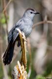 Isolated Catbird