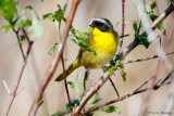 Yellowthroat and leaves