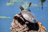 Turtle in sun