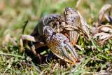 Crawling crayfish